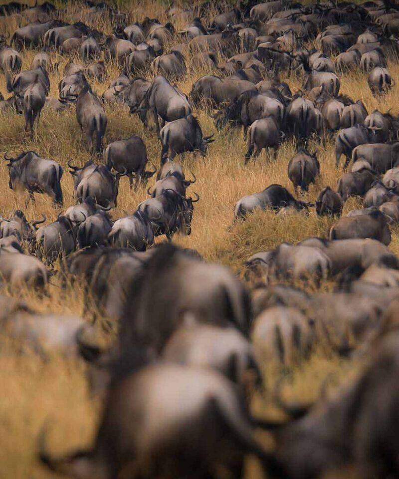 7 Days Safari Serengeti Wildebeest Migration Safari